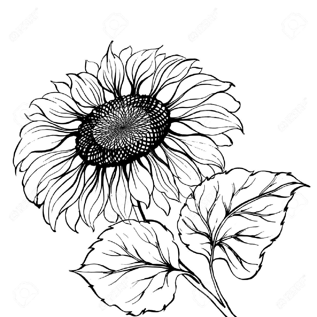 Black And White Sunflower Drawing Trick in 2020 White