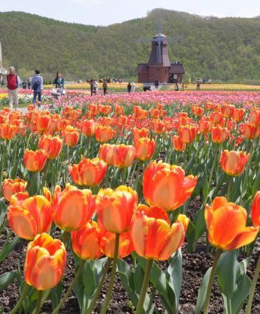 見ごろを迎えた「チューリップ公園」の色とりどりのチューリップ=19日、北海道湧別町