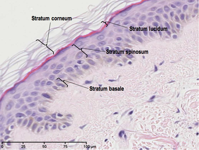 Frog Integumentary System Diagram Stratified Squamous Epithelia Top Layer Purple Light