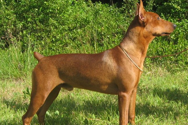 German Pinscher German Pinscher Pinscher Guard Dogs