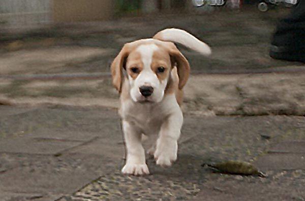 Dijual Anjing Beagle Jual Anakan Anjing Beagle Bloodline Istimewa
