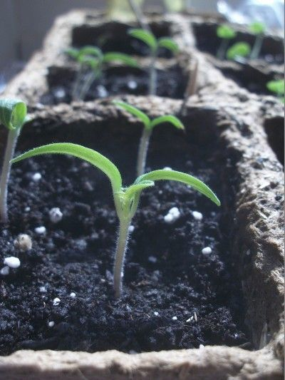 how to start tomato seeds
