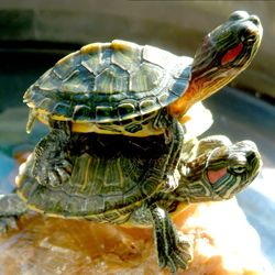 I have always wanted a pet turtle.... and his name shall be Donatello.