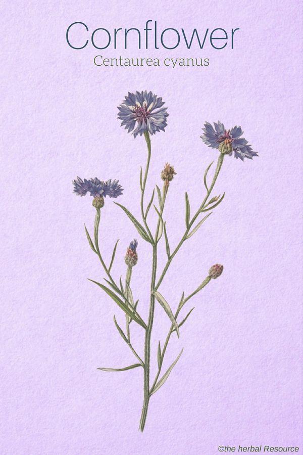 Cornflower Centaurea Cyanus Medical Herbs Herbalism Medicinal Plants