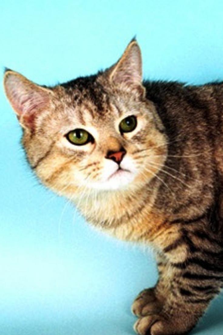 Manx Cat Manx Kittens Cat Breeds All Cat Breeds