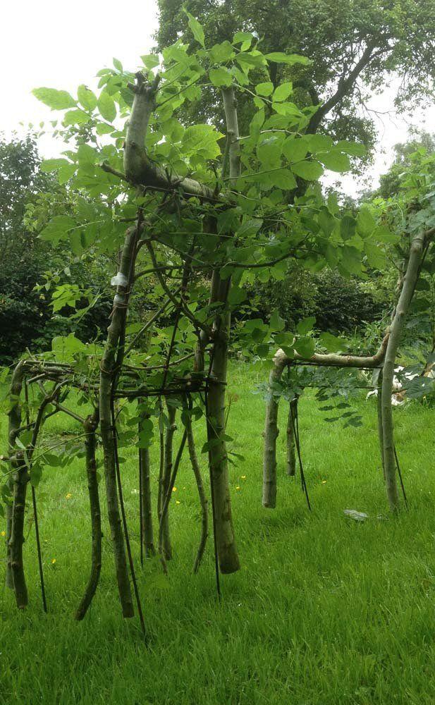 Gavin Munro fait pousser les jeunes arbres guidés par des moules en plastique spécialement conçus pour en faire des chaises, mais aussi des tables, des lampes... Vraiment original et très design ! Il taille et oriente les branches avant de les greffer ensemble pour créer les soudures les plus difficiles.