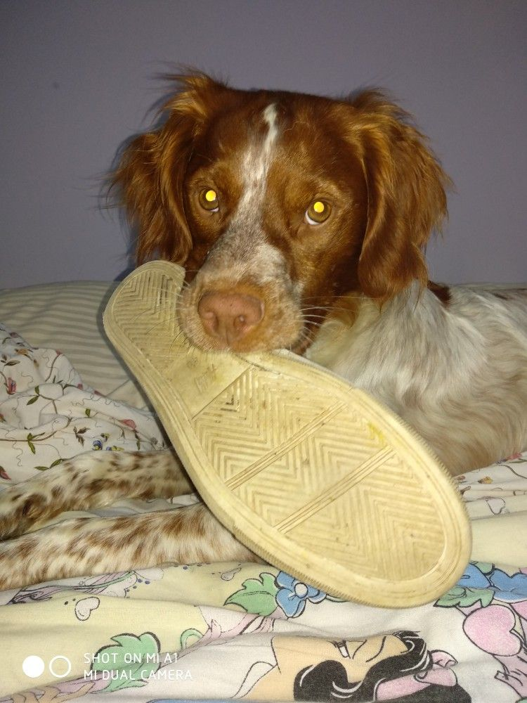 You Know What Happen My Brittany In Action Bird Dogs Brittany Spaniel Dogs