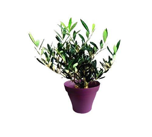 Petit olivier avec cache pot violet   Plantes d\'intérieur avec ...