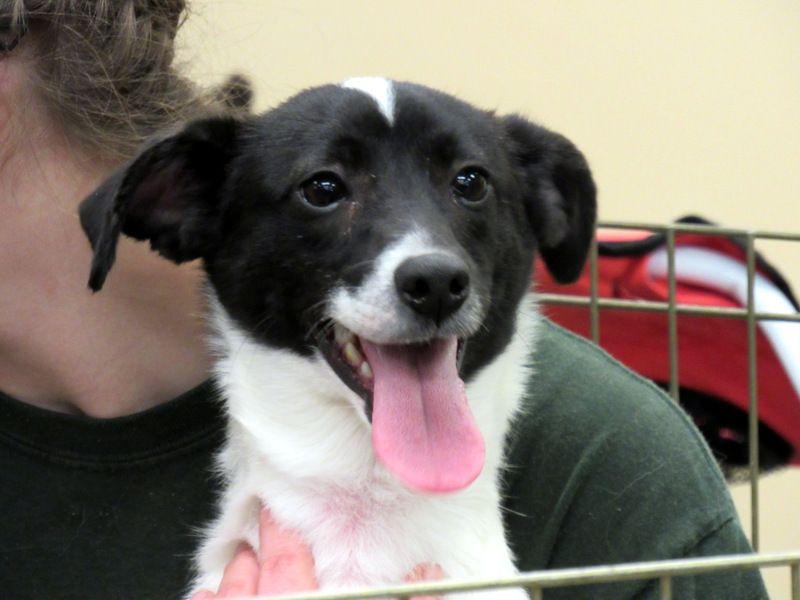 Chiranian dog for Adoption in Rowayton, CT. ADN518095 on