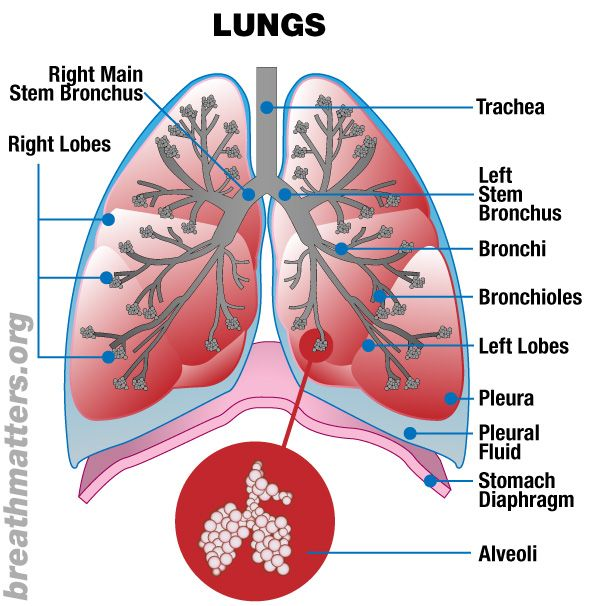 Lung Anatomy Diagram   What is COPD?   Breath Matters