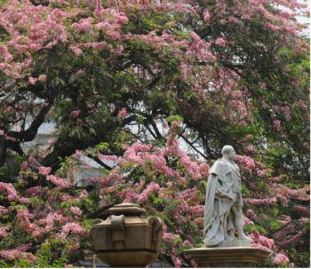 Bangalore Cubbon Park Pink Flowering Tree Google Search Pink Flowering Trees Flowering Trees Tree