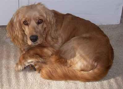 Golden Cocker Retriever The Forever Puppy Dog Breeds For Pet