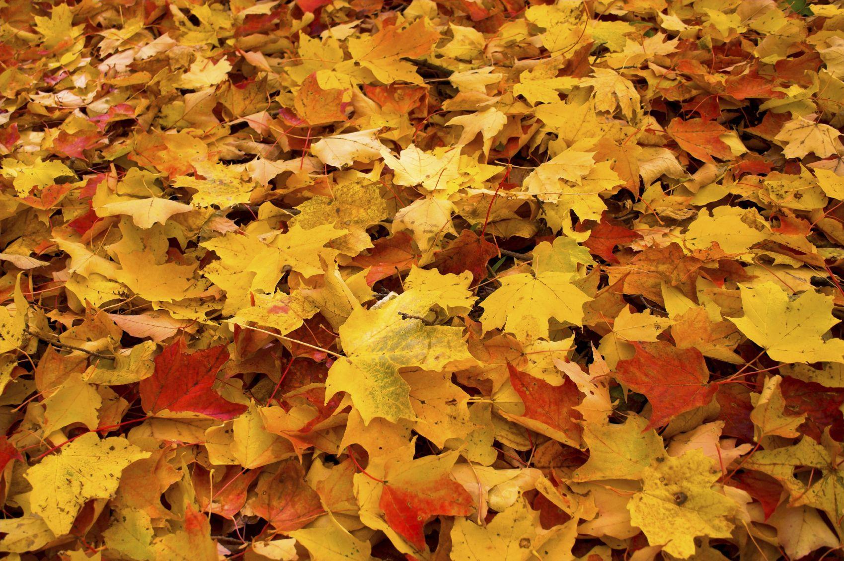 pile of leaves - HD1699×1130