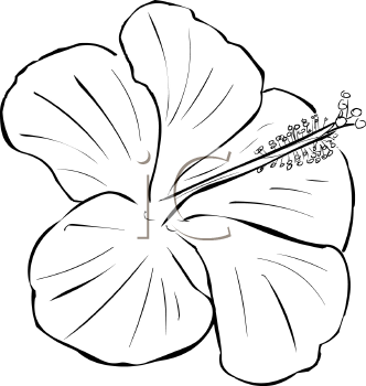 Hibiscus 000004 0002 Tnb Png 332 350 Flower Drawing Design Hibiscus Drawing Flower Drawing