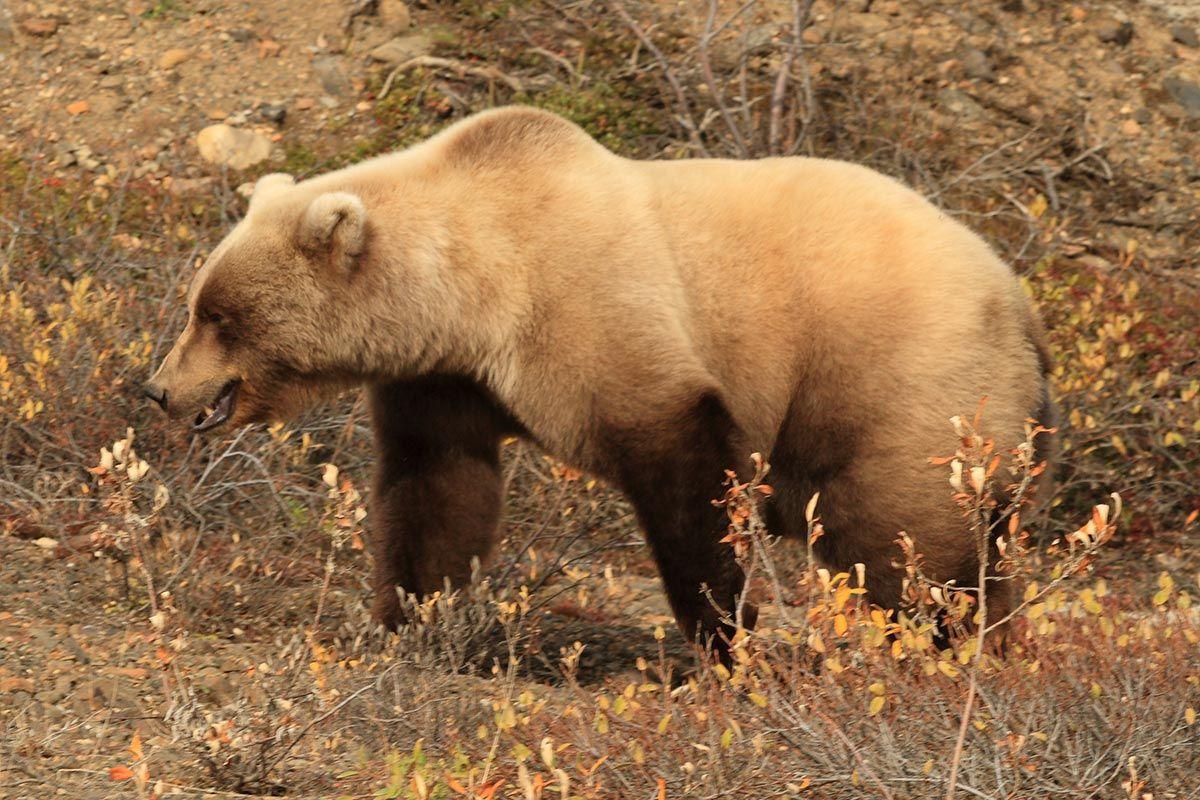 black bears head - Google Search
