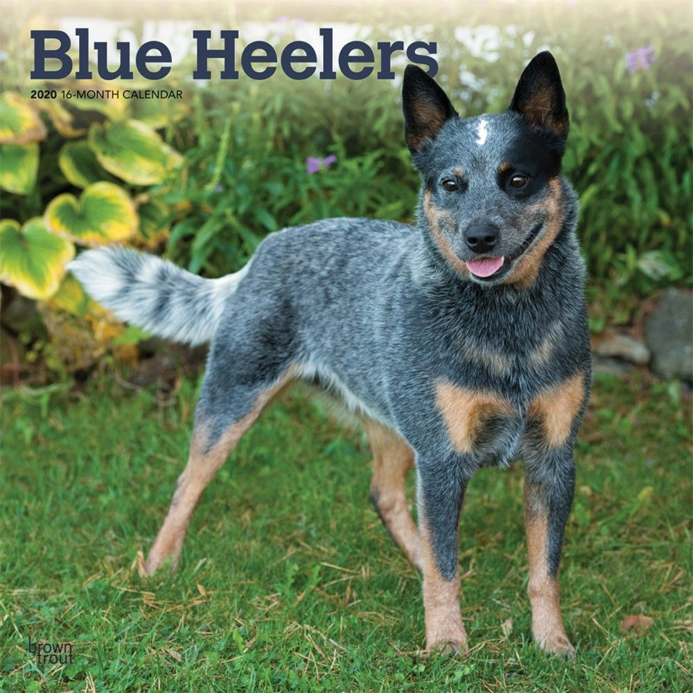 Blueheeler Is Another Name For The Blue Coated Australian Cattledog Blue Heelers Are Strong Dogs Bred To Blue Heeler Dogs Blue Heeler Working Dogs Breeds