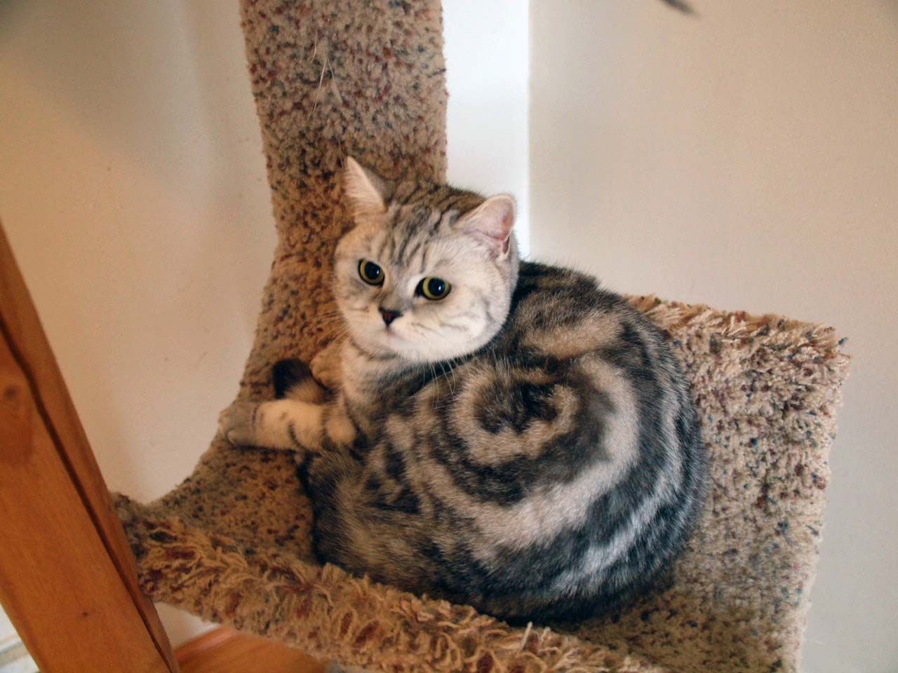 Silver Classic Tabby British Shorthair Www Cheshirerose Com Cats And Kittens Cats Cute Animals