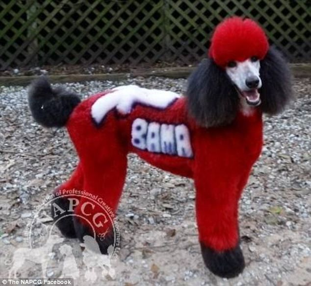 Groomer Makes Poode A Dye Hard Alabama Superfan Poodle Creative