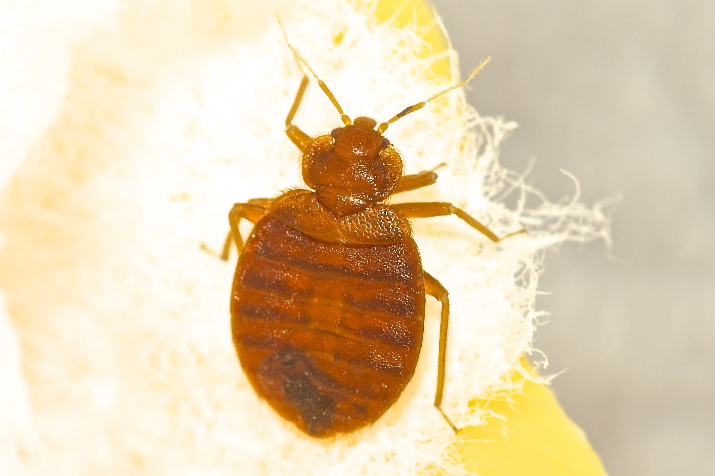 How Long Do Bed Bug Bites Last Bed bug bites, Bed bug