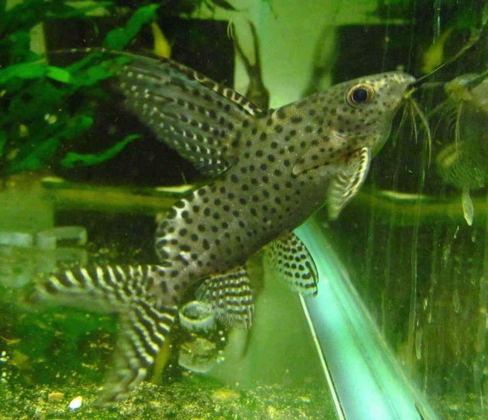 Synodontis Eupterus Live Freshwater Aquarium Fish Synodontis Eupterus Aka Featherfin Squeker Catfish Approximately 1 To 2 Inches Depending On Stock The Fish