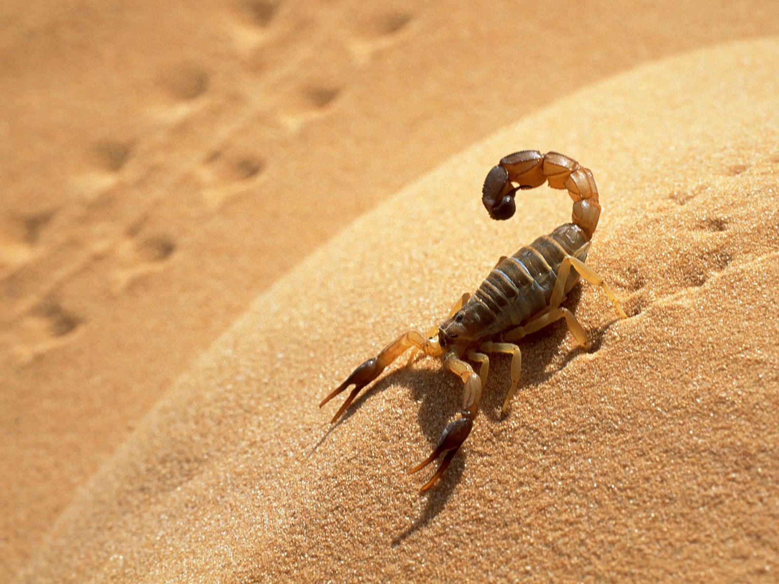 desert scorpion - photo #2