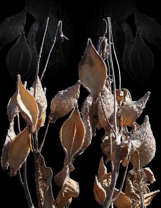 Milkweed Pods in Winter Digital Art By Michael Hurwitz