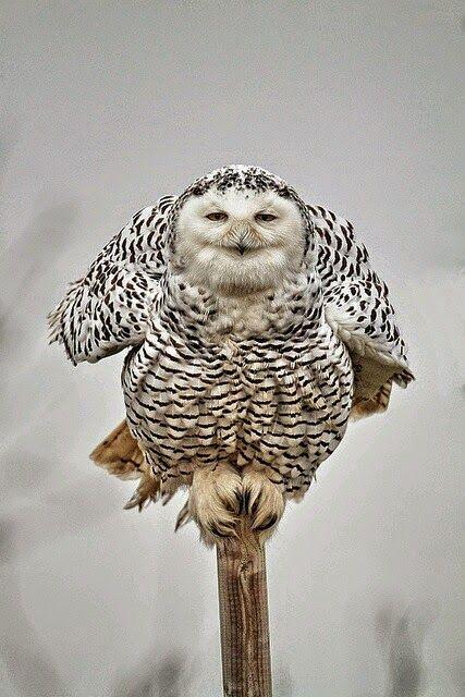 موسوعة أجمل صور طيور برية نادرة بألوان رائعة Pet Birds Owl Beautiful Owl