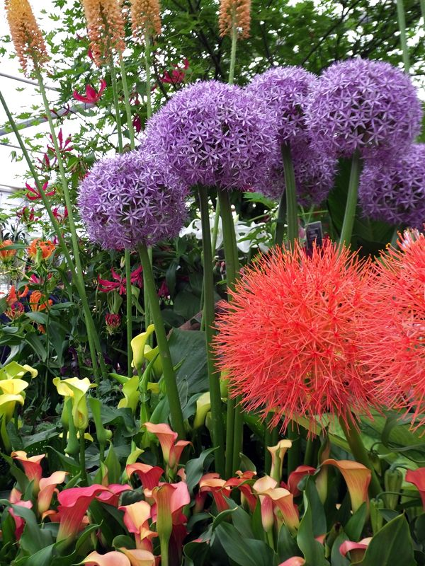 Scadoxus multiflorus the blood Lily from Senegal Somalia and South Africa