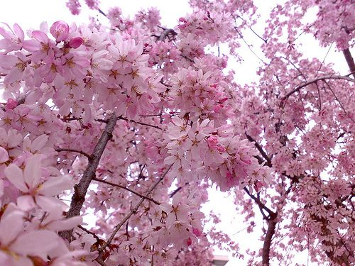 Pink Flowers Cherry Blossoms Cherry Blossom Flowers Japanese