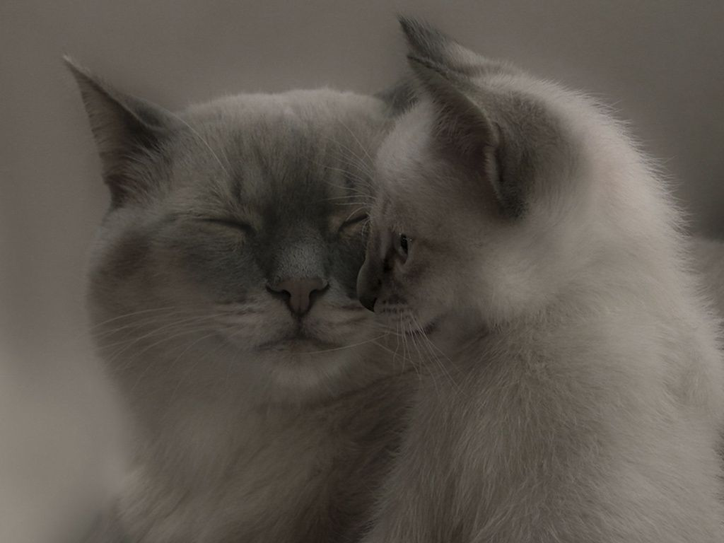 Кошка с котенком | Кошки и котята, Животные, Кошачьи обои