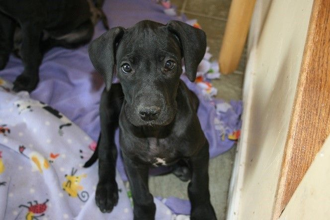 Litter Of 9 Great Dane Puppies For Sale In Lehi Ut Adn 55856 On