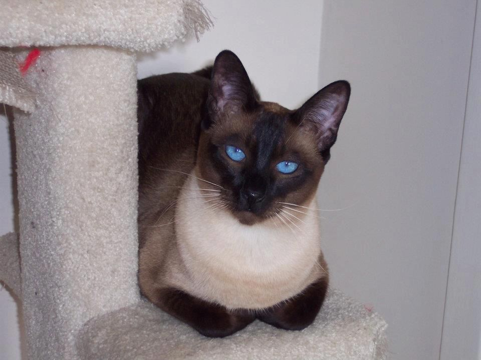 Art And Photos Of The Siamese Cat Siamese Orientals Cats Cats