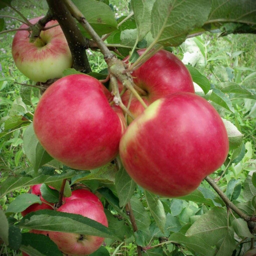 Pin On Orchard Fenceline