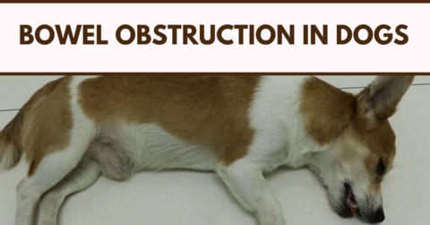 Bowel Obstruction In Dogs Dogs, Dog cat, I love dogs