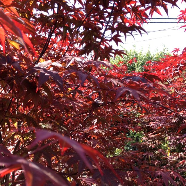 Japanese Maple, Plants, The Great