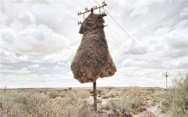 "Dillon, from Cape Town, explains: ""In the vast barren landscapes of the    southern Kalahari, sociable weaver birds assume ownership of the telephone    poles that cut across their habitat."