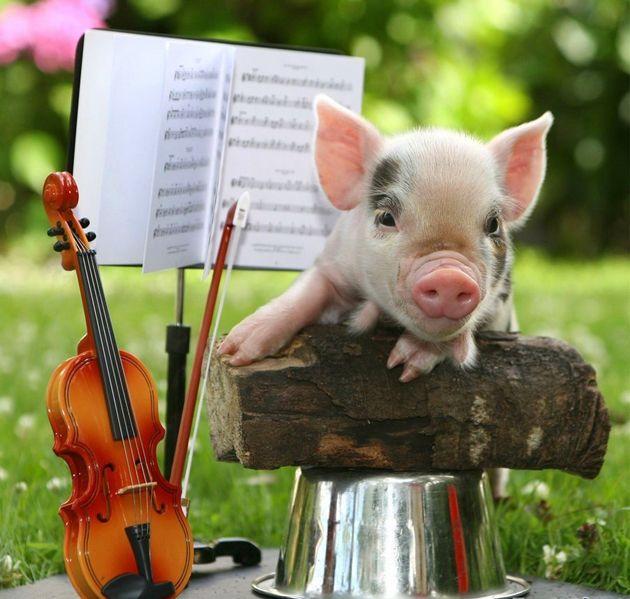 Resultado de imagen de pigs