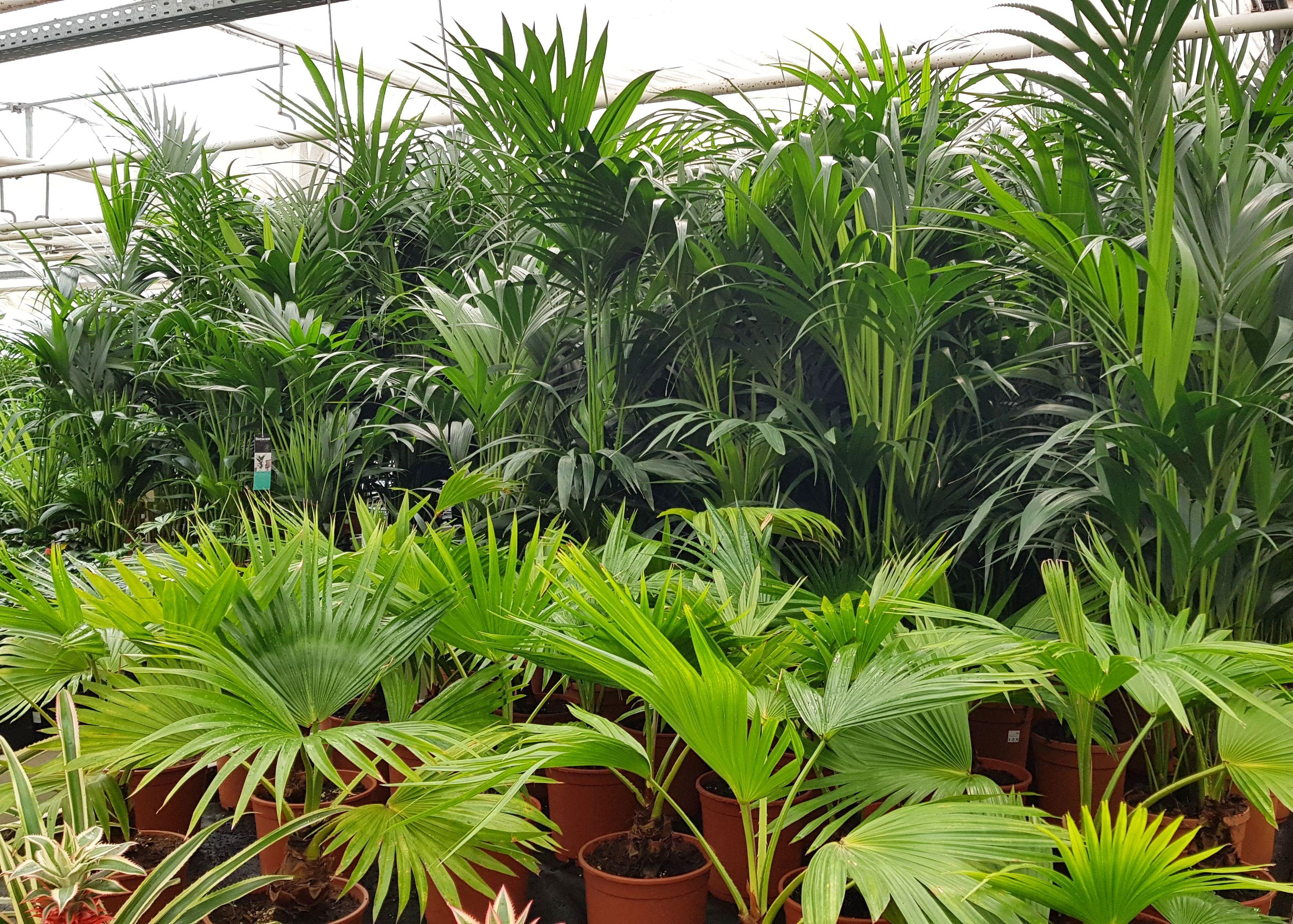Palmen I Gewachshaus Der Palmenmann Mediterrane Und Exotische Pflanzen