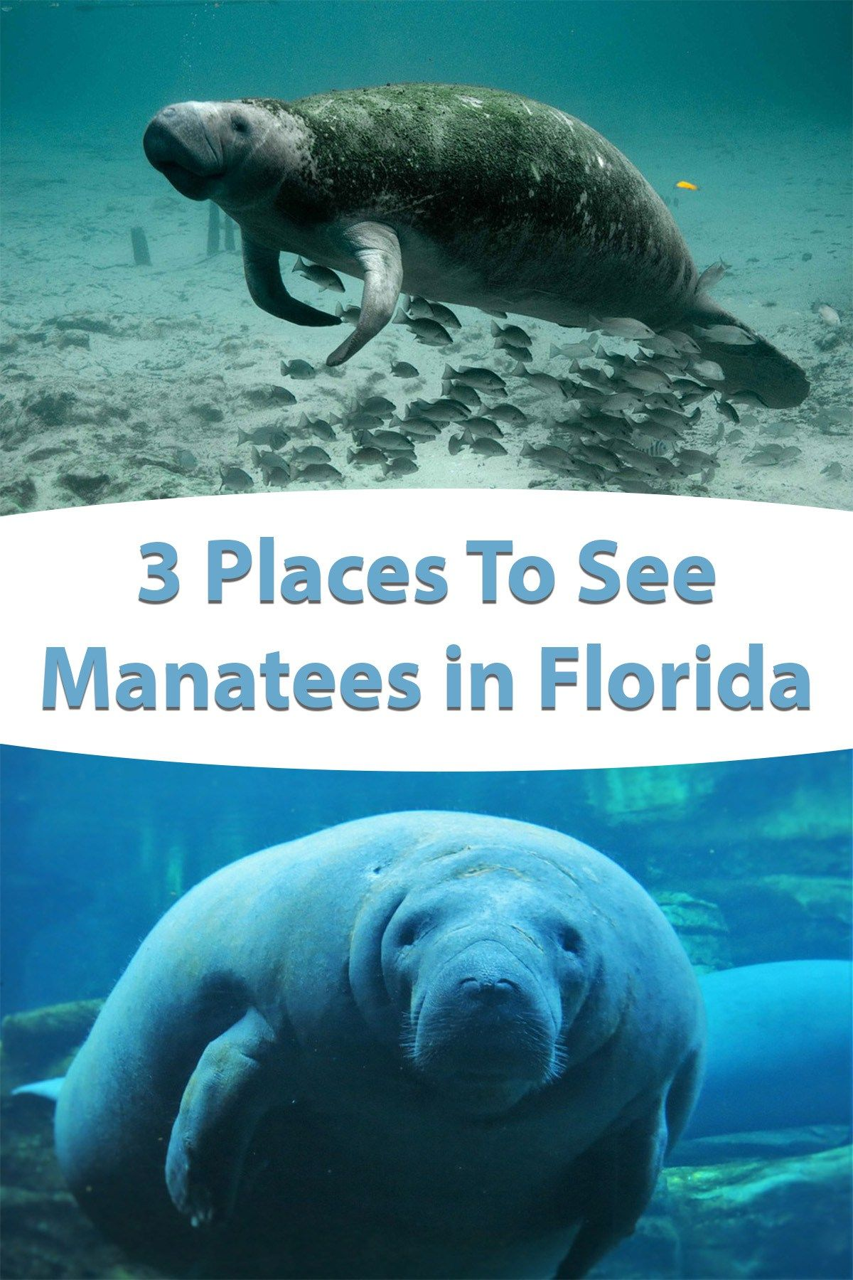 3 Places To See Manatees In Florida Usa Florida Vacation Spots Manatee Florida Vacation
