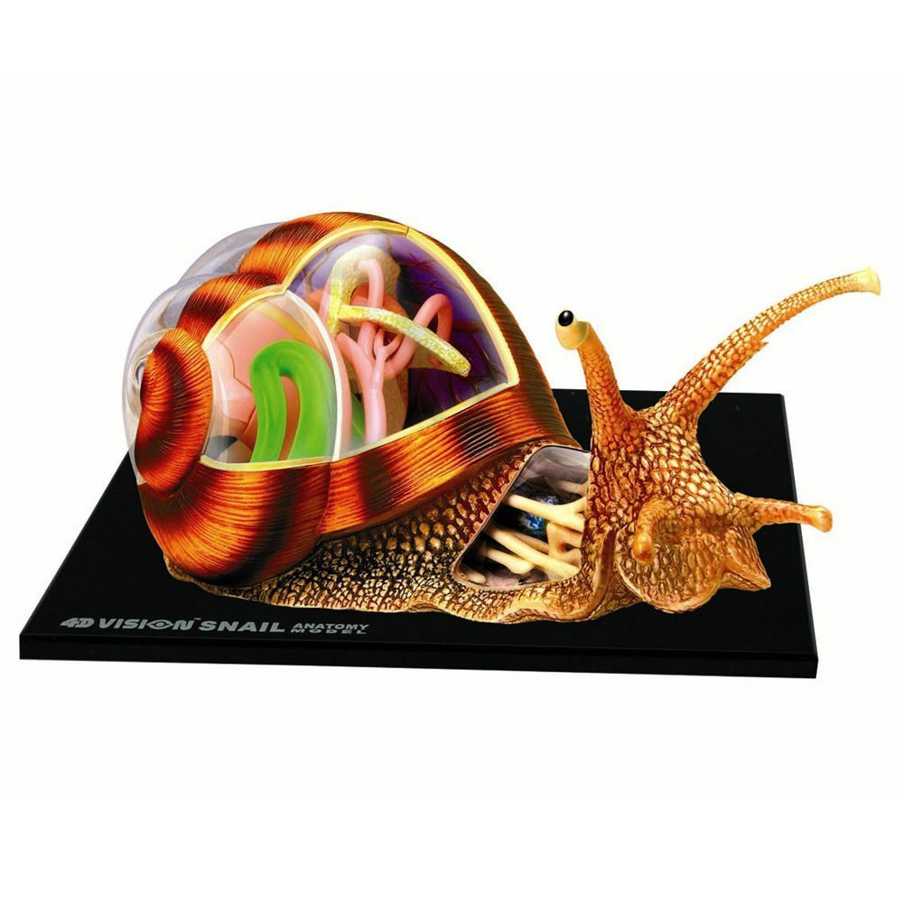 4d Snail Anatomy Model Kit Products Pinterest Anatomy Models