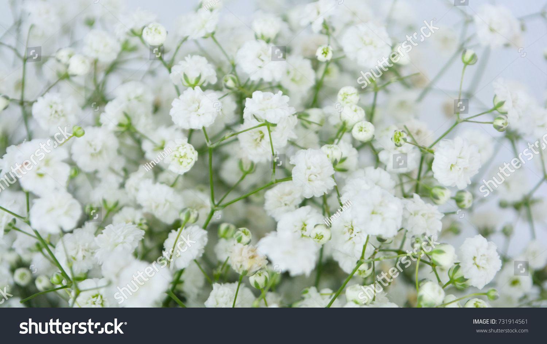 Unfocusing Baby S Breath Flower Gypsophila For Background Gypsophila Babys Breath Flowers Flowers