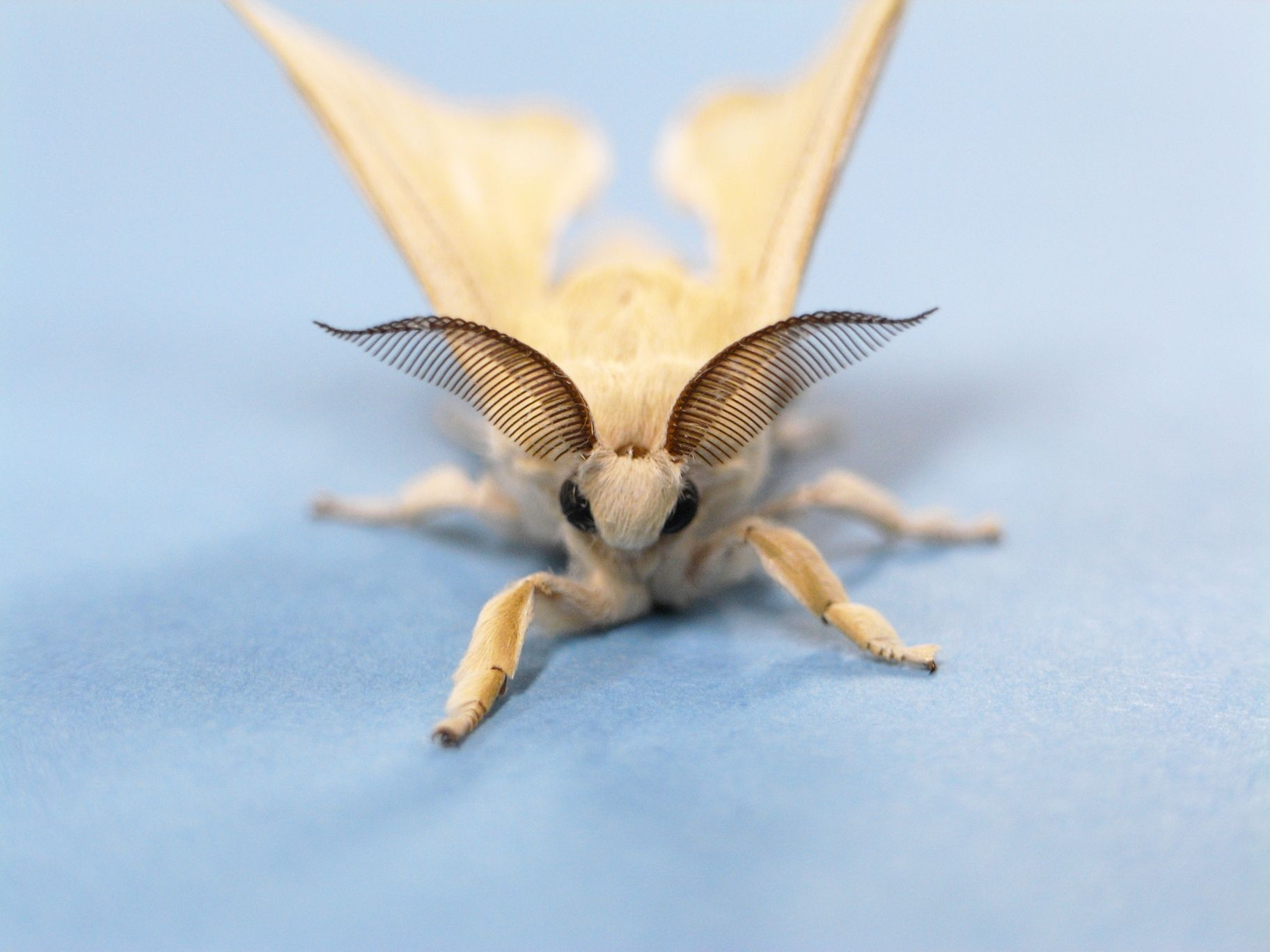 Venezuelan Poodle Moth  Fungi & Moths  Pinterest  Moth Poodle Extraordinary Small Moths In Bathroom 2018
