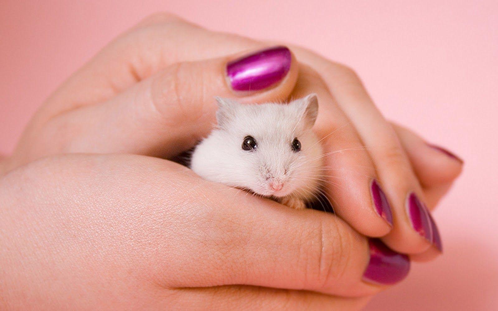 Bo Male Jest Piekne Hamster Wallpaper Hamster Free Wallpaper