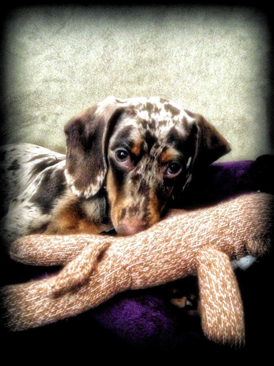 Our Baby Girl Saydee Dachshund Cute Animals
