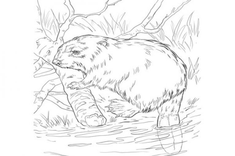 Eurasian Beaver On A River Bank Coloring Page Coloring Pages