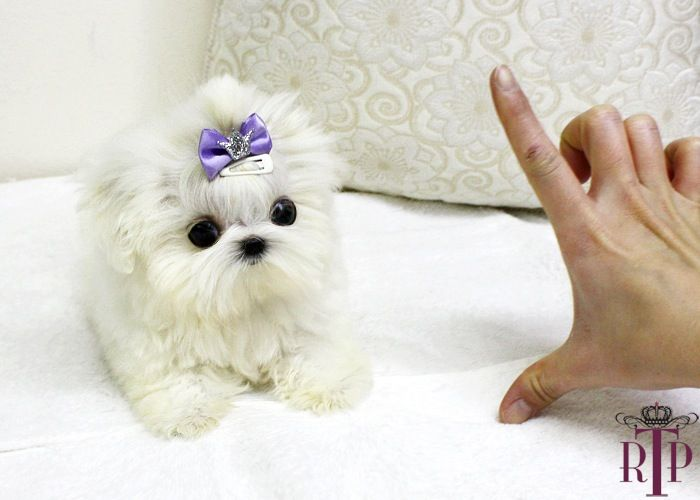 Teacup Maltese Puppies For Sale Micro Teacup Maltese Puppy