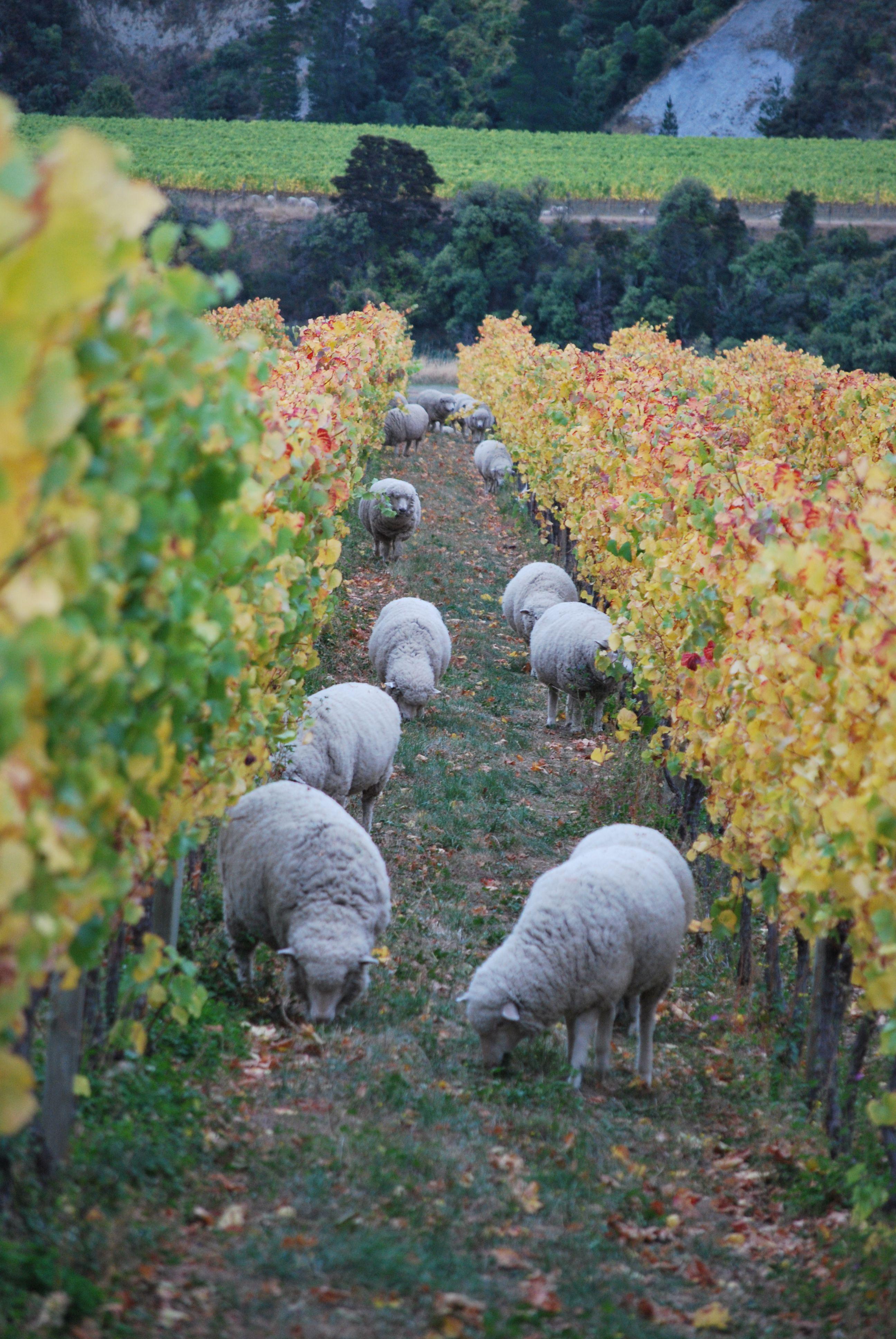Visit loads of vineyards - learn about wine :) Ballochdale Estate Vineyard in Marlborough