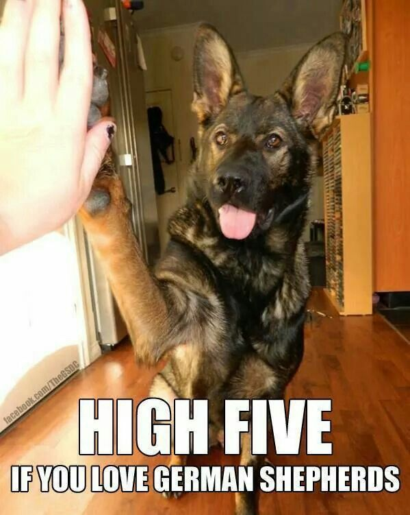The only dogs I will ever have are German Shepherds :) <3