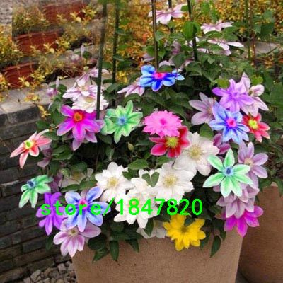 Vendita caldo colore raro clematide 100 pz semi di fiori bonsai semi giardino domestico di diy pianta in vaso di trasporto libero