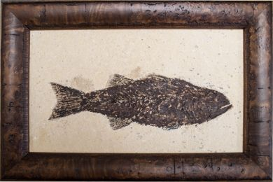 Mioplosus Framed fish in matrix with good detail of the bones and has been framed and ready for display.